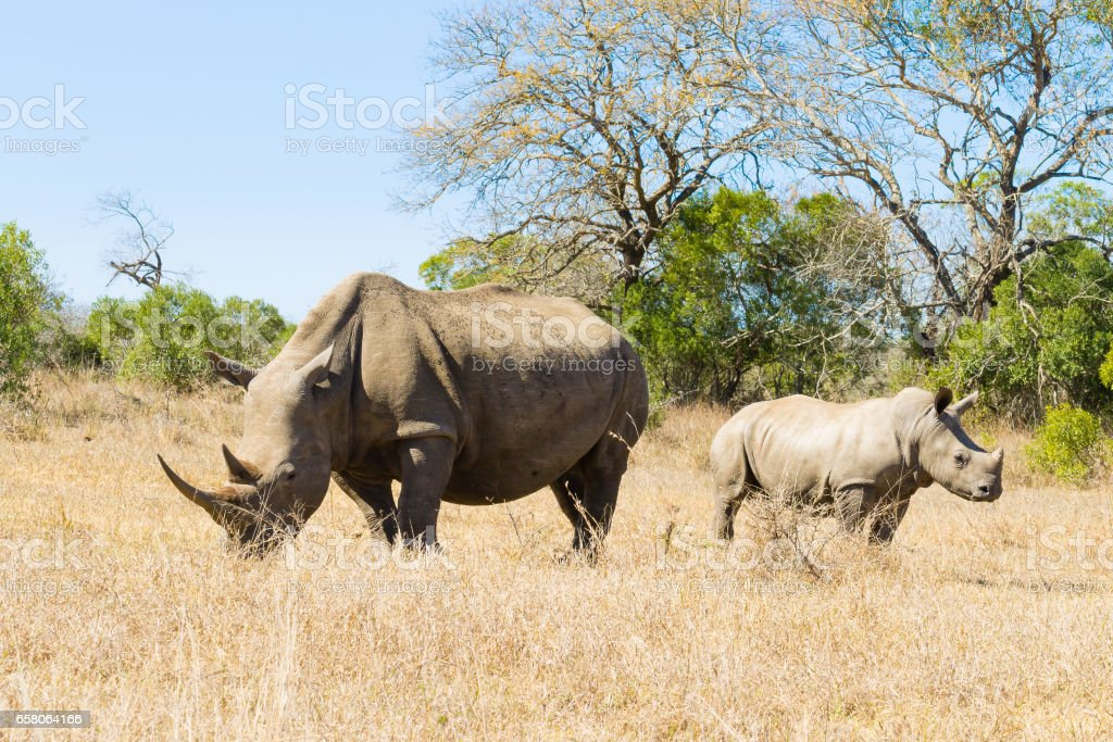 White rhinoceros with puppy, South Africa White rhinoceros female with puppy, from Hluhluwe–Imfolozi Park, South Africa. African wildlife. Ceratotherium simum Adventure Stock Photo