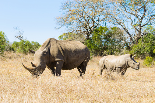 White Rhinoceros With Puppy South Africa Stock Photo - Download Image Now