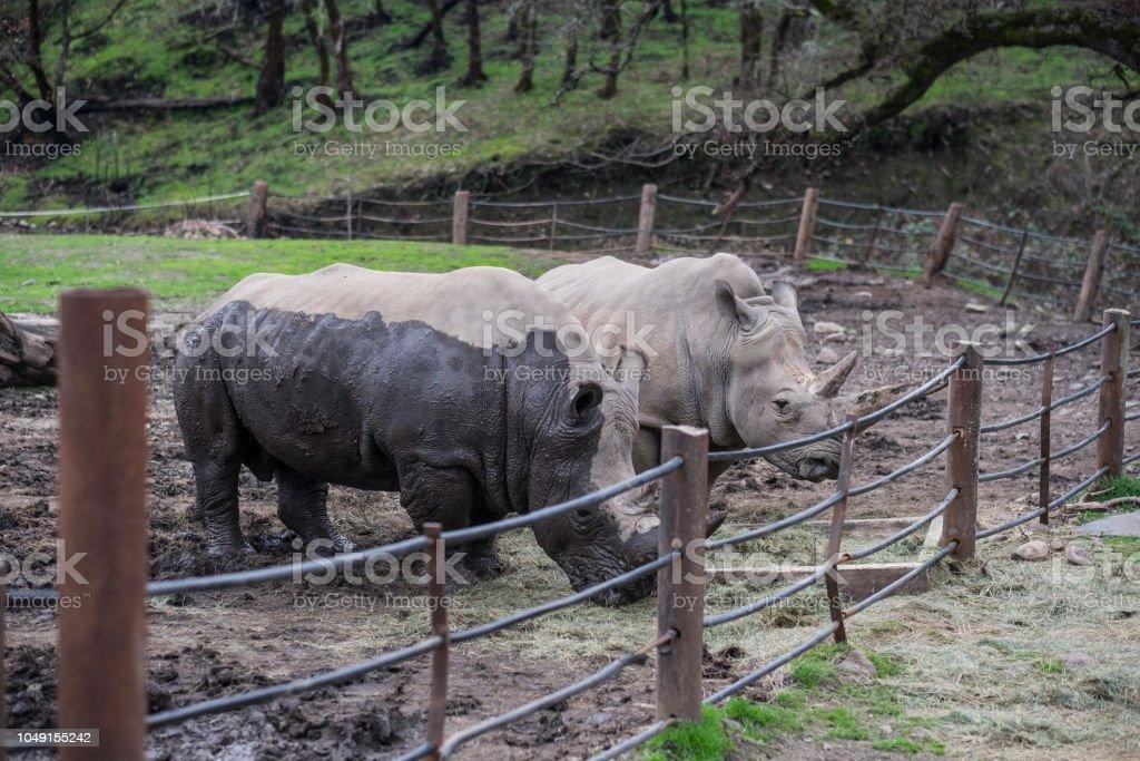 White Rhinos in Captivity - covered in mud stock photo