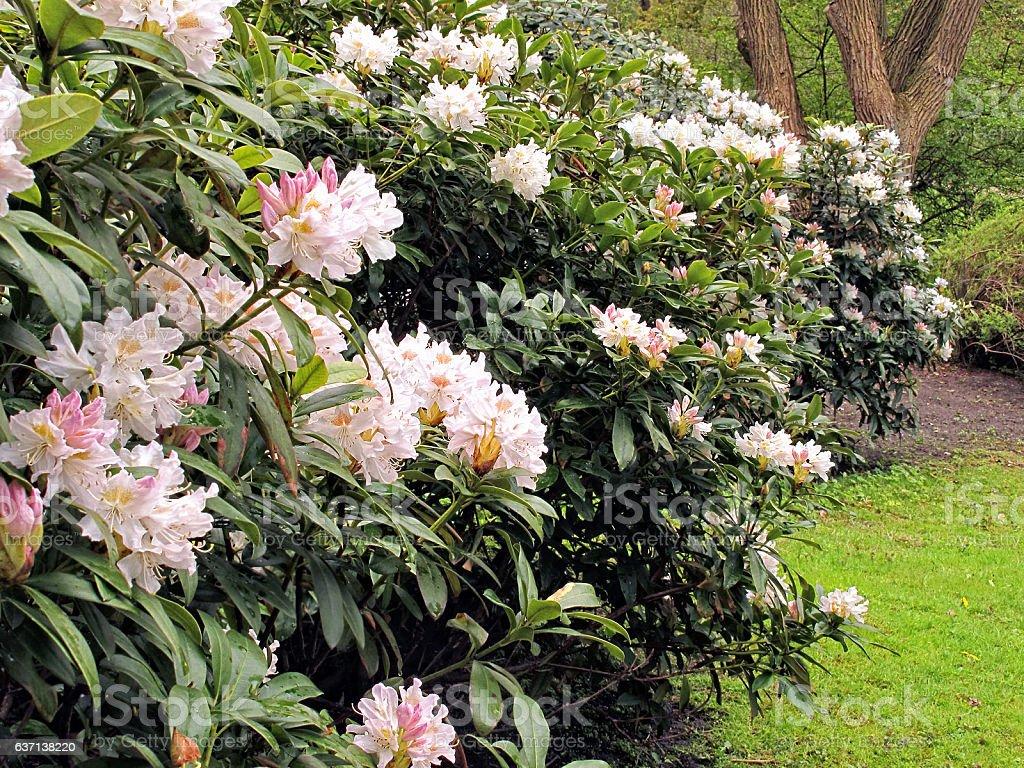 white rhododendron bush blossom in a park – Foto