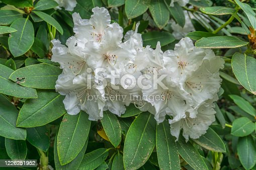 blooming tender pink azalea. fluffy pink flowers