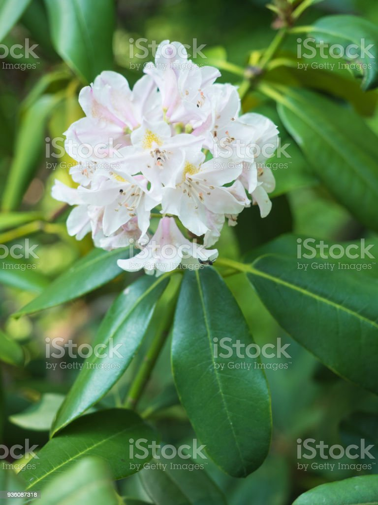 White Rhododendron Flowers In The Garden Stock Photo More Pictures