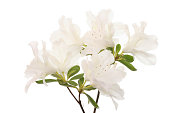 white rhododendron flowers isolated