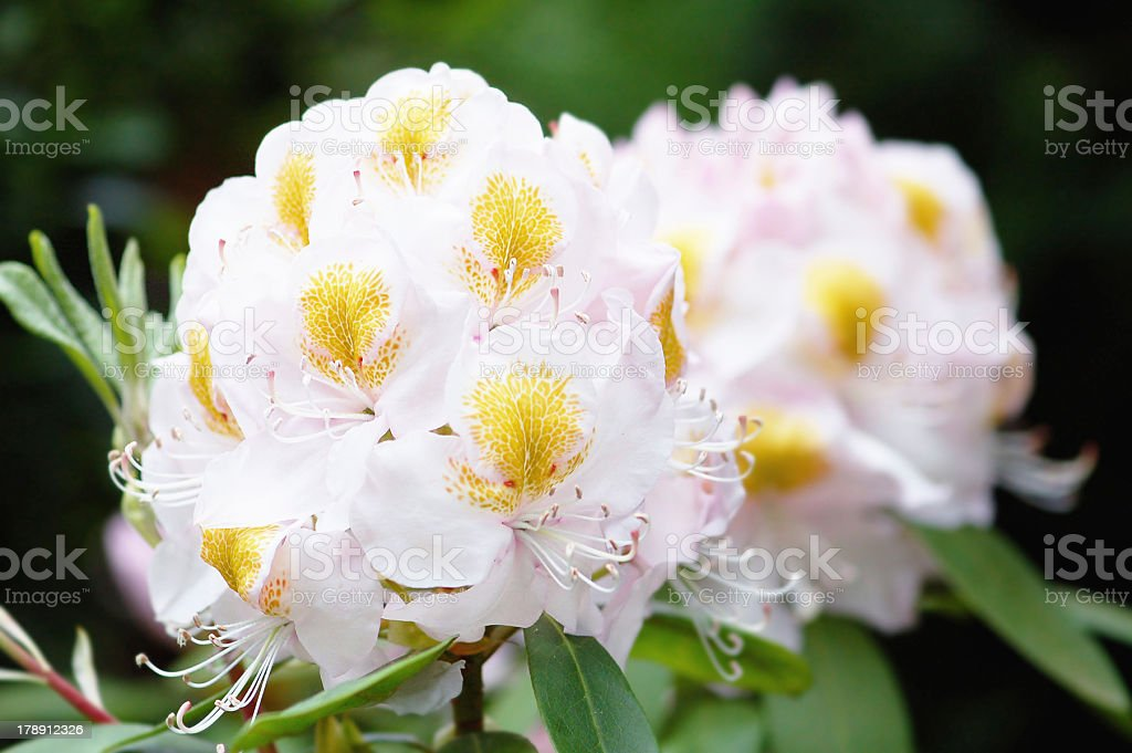 white Rhododendron with yellow spotted royalty-free stock photo