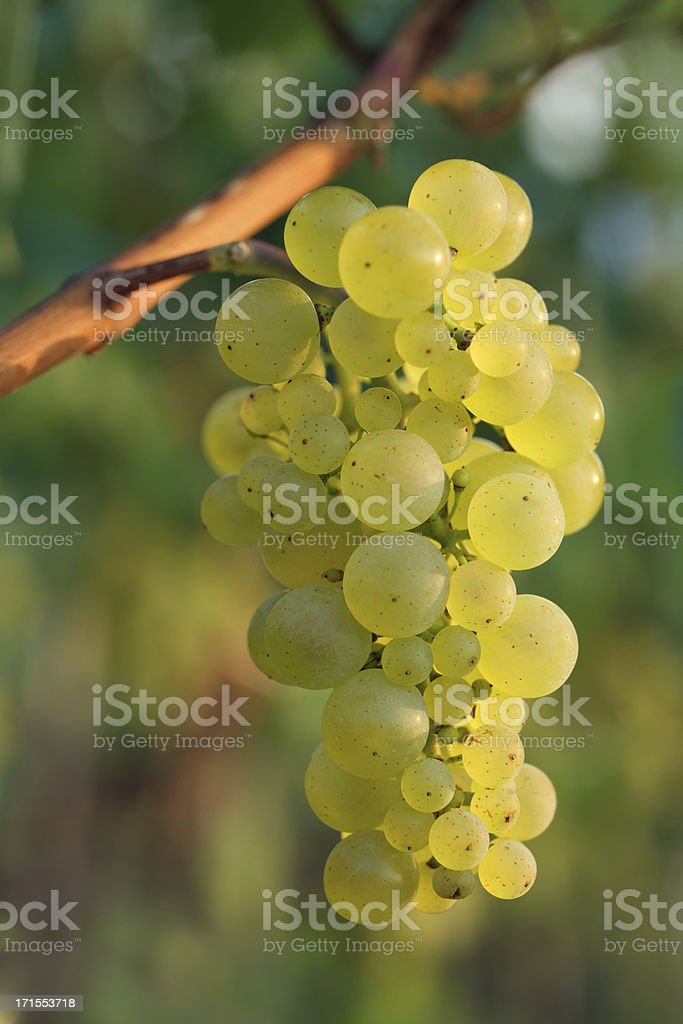 white riesling grapes stock photo