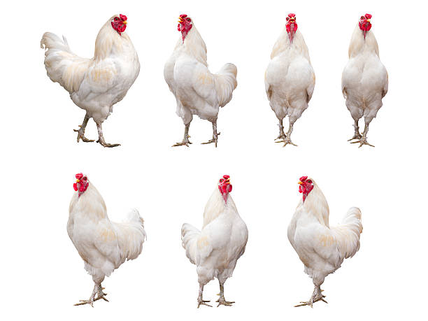 white rooster, cock or chicken isolated on a white background - gallina foto e immagini stock