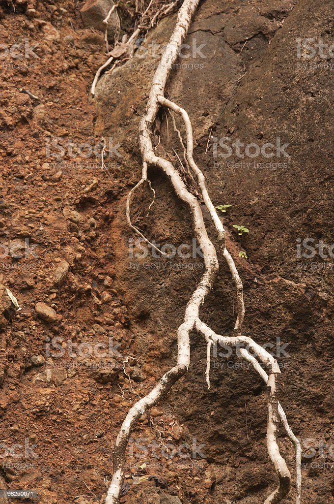White root of tree exposed by erosion royalty-free stock photo