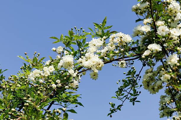 White Rosa Banksiae stock photo