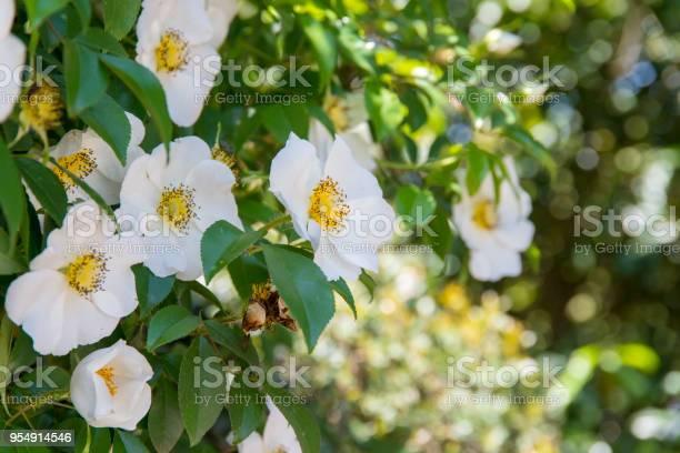 White rosa laevigata flowercherokee rose picture id954914546?b=1&k=6&m=954914546&s=612x612&h=lj3wcgonhejq8 a m0levjzkw7f8nkzoumsgdilvxby=
