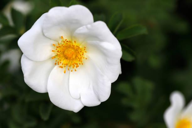 Weiß-Rosa Rubiginosa (süße Brier Eglantine Rose) – Foto