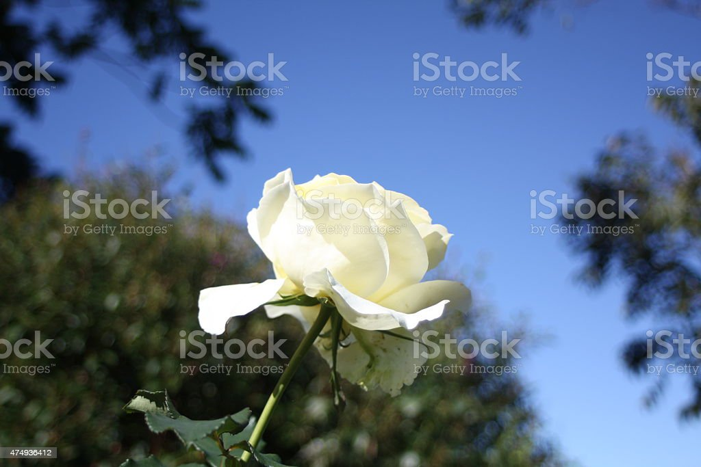 White Rose against Green Foliage and Blue Sky stock photo
