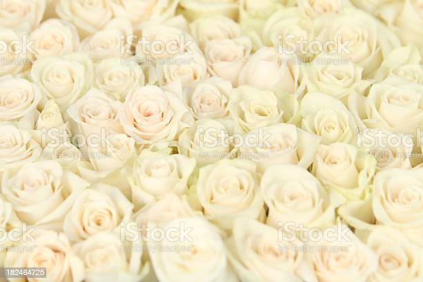 White rose background picture id182464725?b=1&k=6&m=182464725&s=612x612&h=dnc x03jhbvsr6rtqcd6tsh2yndzmd pld3vxucqvea=