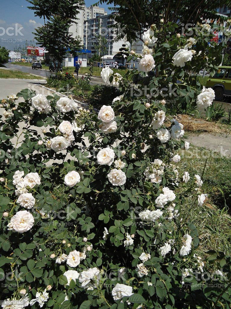 White rose bush along a path on the avenue. stock photo