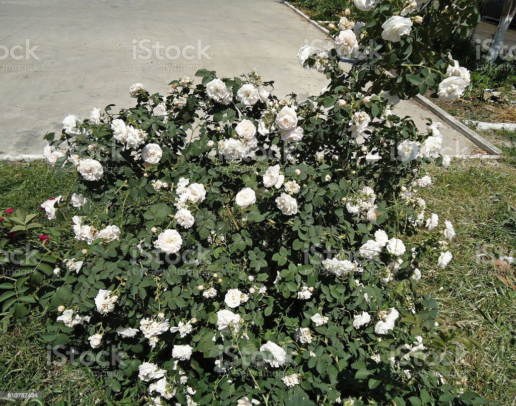 White rose bush along a path. stock photo