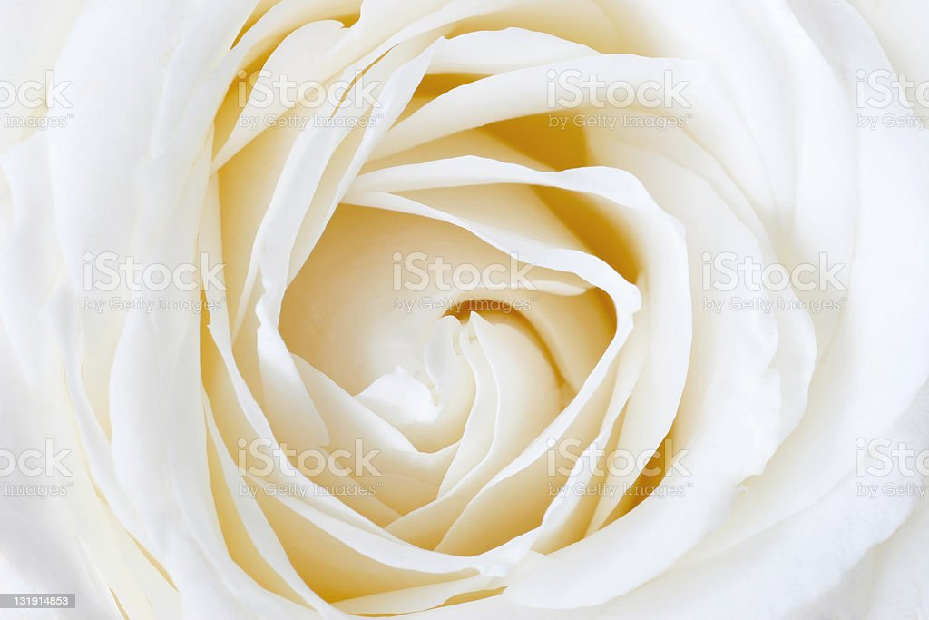 White rose close up stock photo
