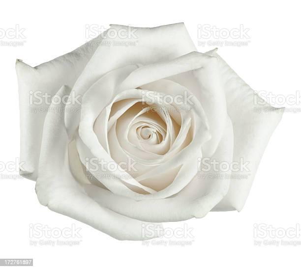 White rose close up with petals picture id172761897?b=1&k=6&m=172761897&s=612x612&h=mpo7bis25amuxq9wmp gg8x6e8qpwtrorjclqnkftq0=