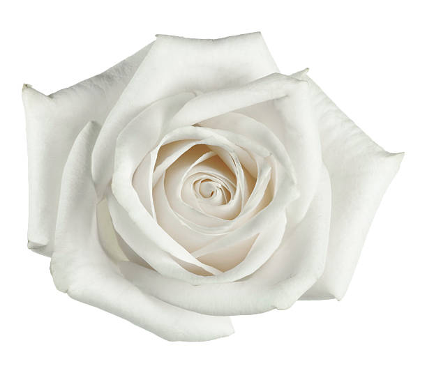 White rose close up with petals picture id172761897?b=1&k=6&m=172761897&s=612x612&w=0&h=u5eagkhrhe onurjzgtolfpj30oalkdym6kwl7qeprw=