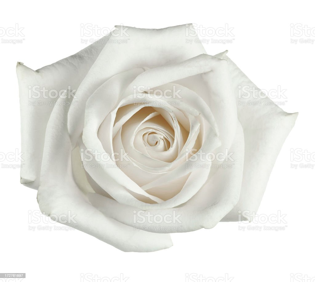 White rose close up with petals stock photo