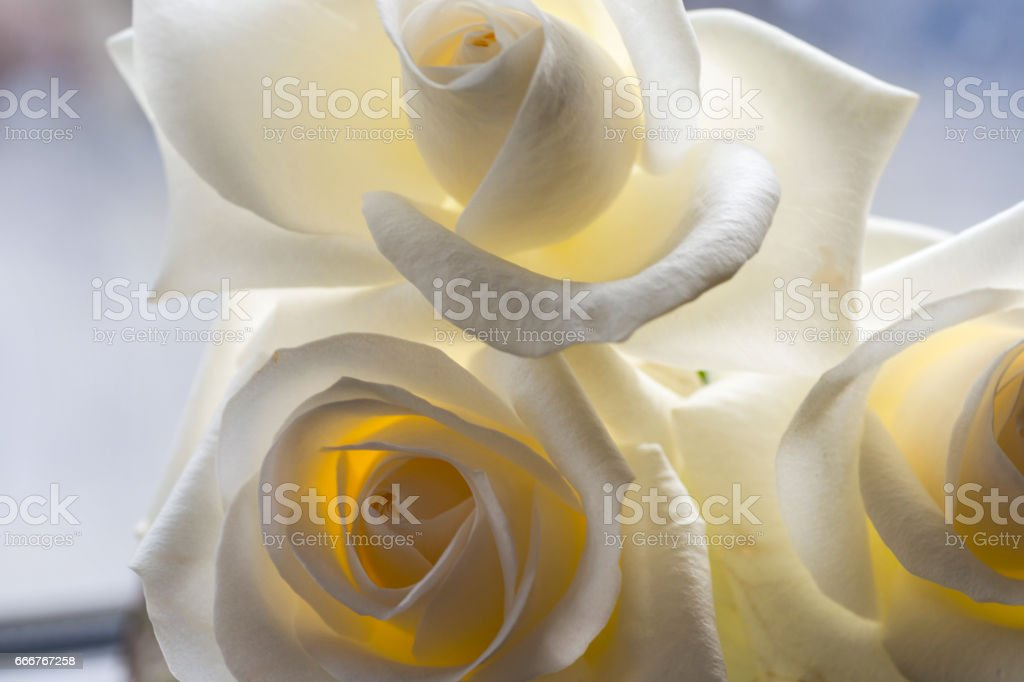 White rose close-up can use as background. Soft focus. foto stock royalty-free
