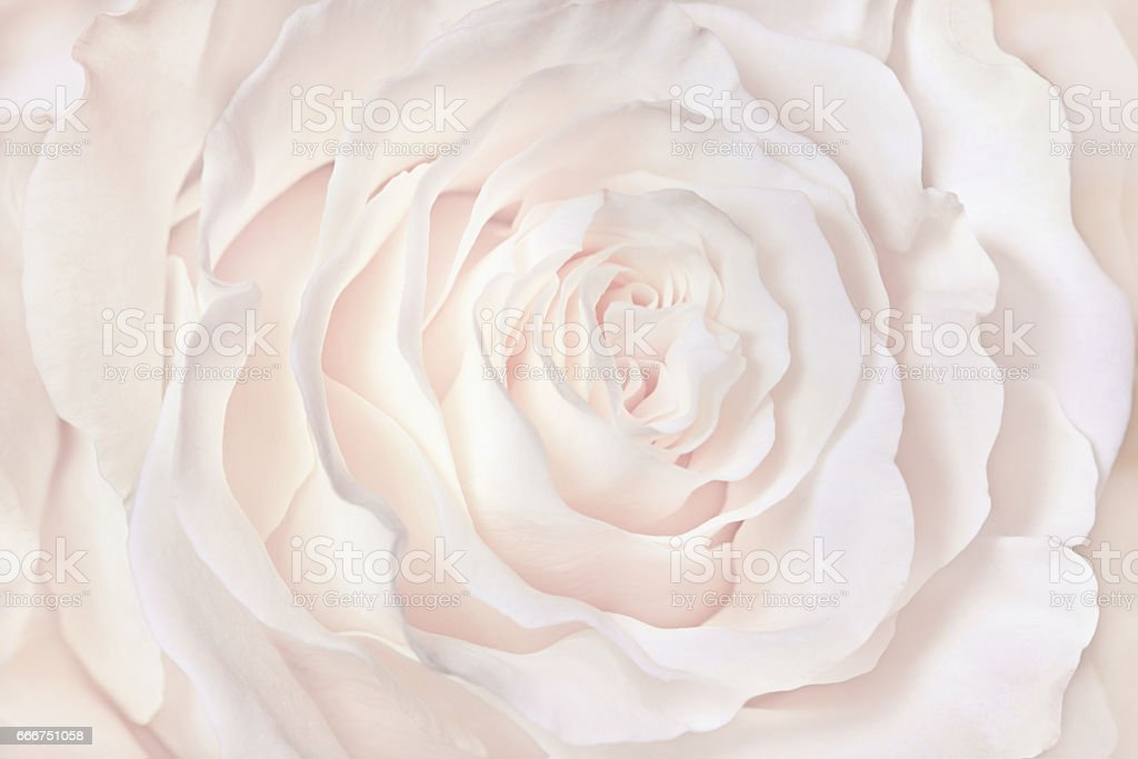 White Rose Close Up Can Use As Wedding Background Royalty Free Stock Photo