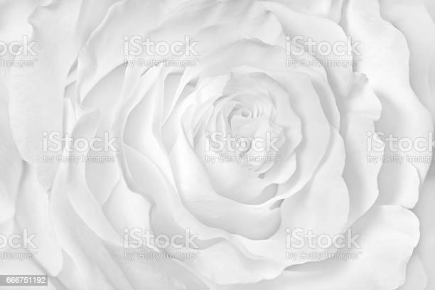 White rose closeup can use as wedding background picture id666751192?b=1&k=6&m=666751192&s=612x612&h=rl0xdofa8l5cjhkkcehtwjpicv62i7jk7bcqhe9vxc4=