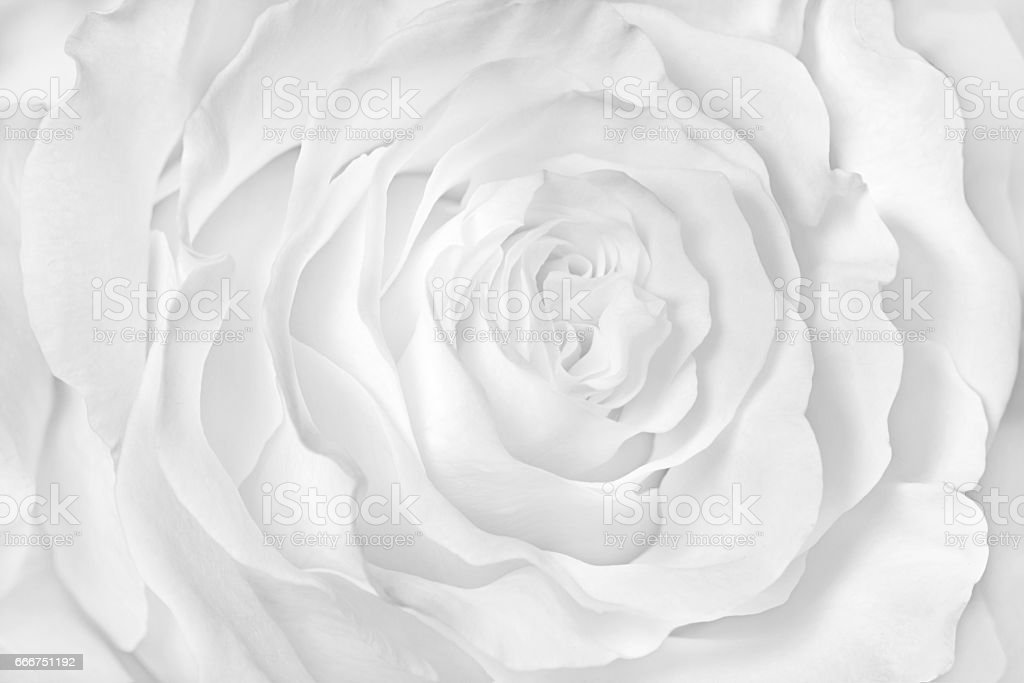 White rose close-up can use as wedding background. stock photo