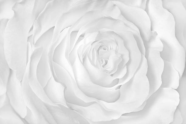 Blanc rose close-up peut servir de fond du mariage. - Photo