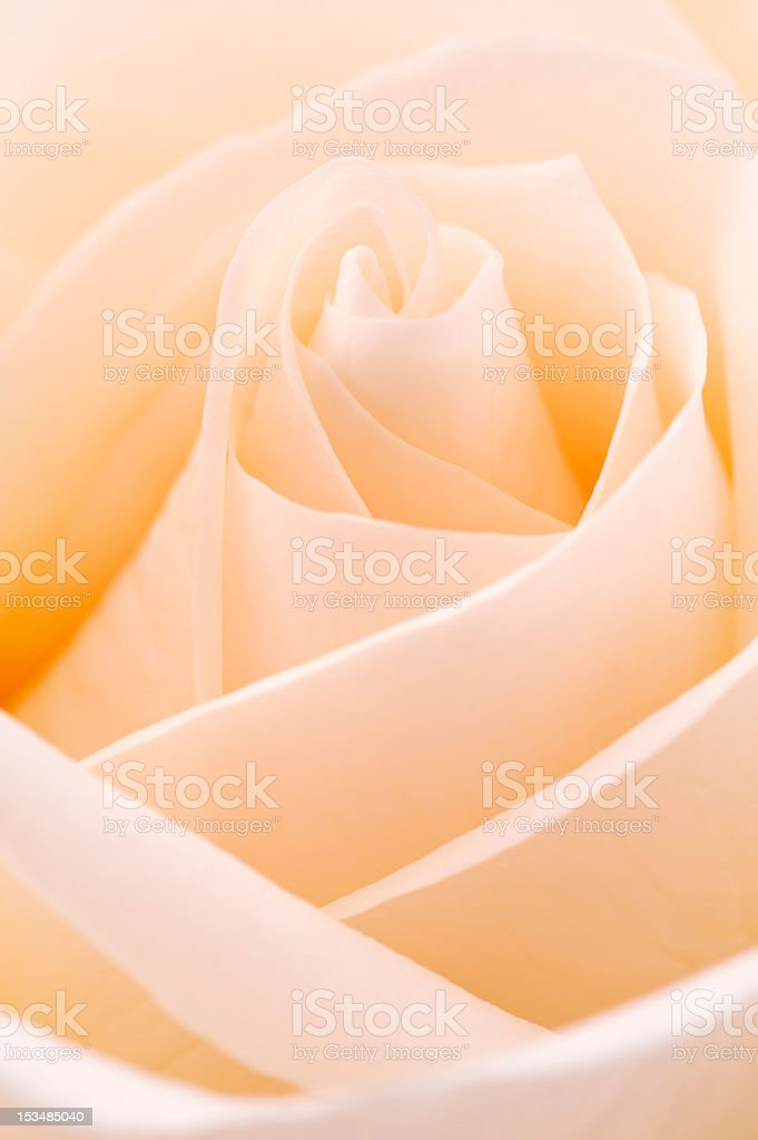 White rose, closeup shot, abstract background royalty-free stock photo