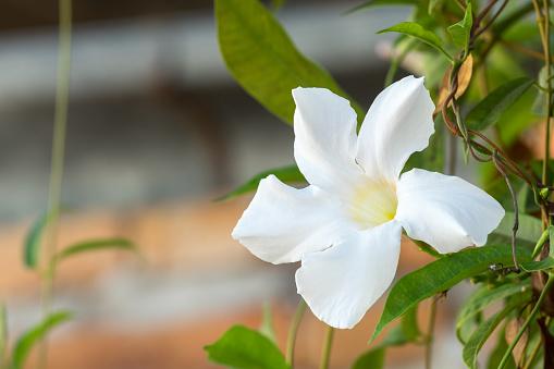 White Rose Dipladenia