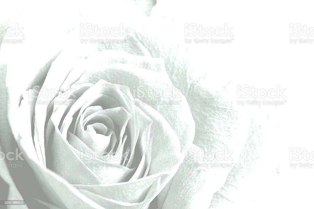 Weiße rose Blume Hintergrund. – Foto