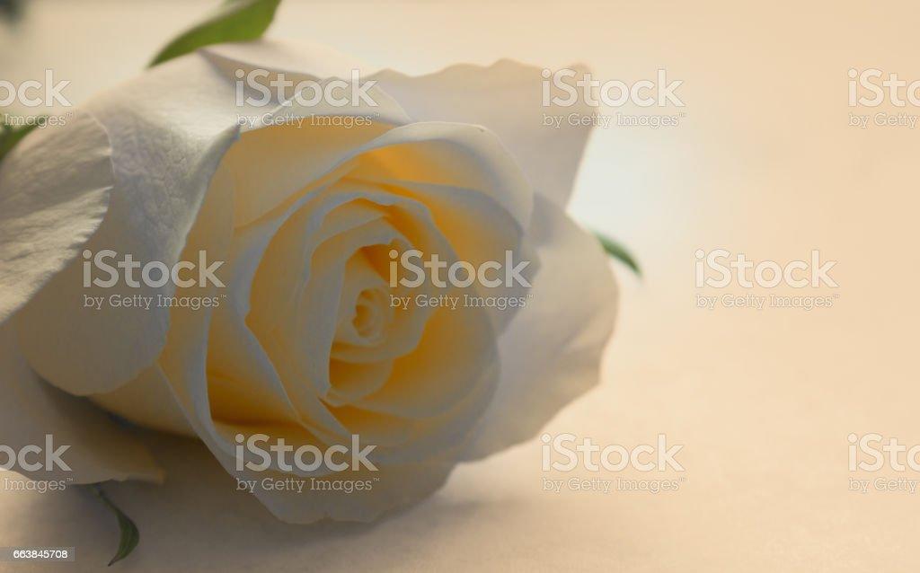 White rose flower in bloom. stock photo