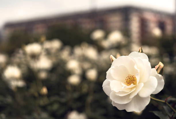 White Rose Flower in the Rose Garden of Puerto Madero. stock photo