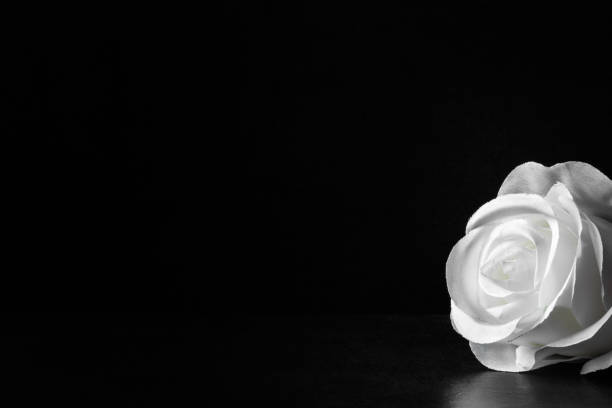 White rose flower on the dark background. Condolence card. Artificial flower. Empty place for a text. White rose flower on the dark background. Condolence card. Artificial flower. Empty place for a text. mourning stock pictures, royalty-free photos & images