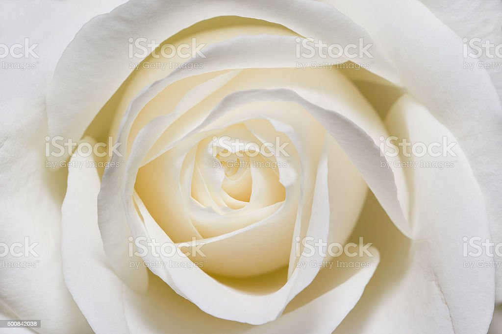 White rose in macro scale stock photo
