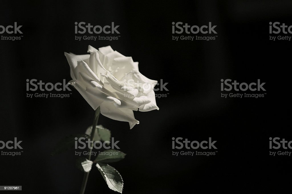 White rose in natural light stock photo