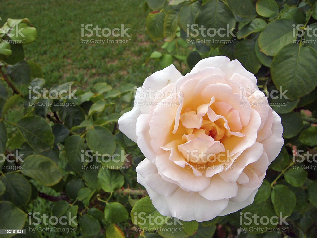 White rose in the garden royalty-free stock photo