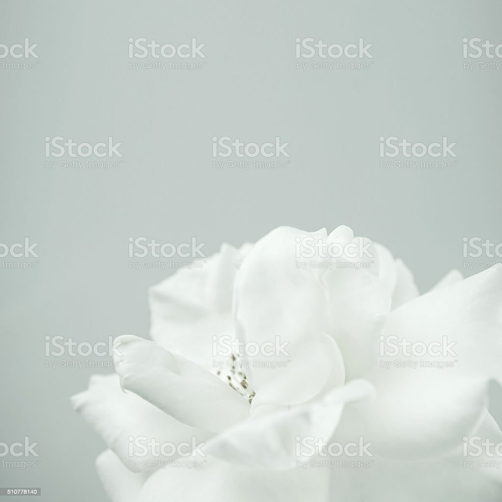 white rose in vintage color style for romantic background stock photo