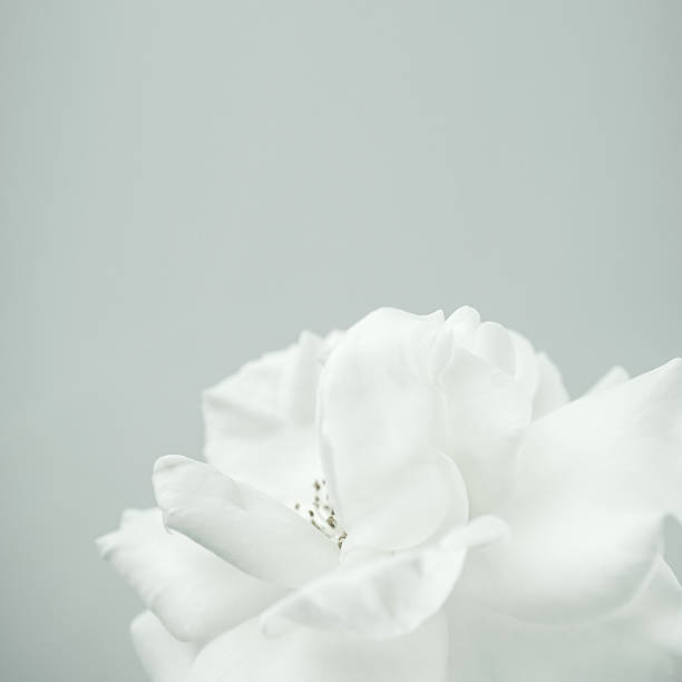 white rose in vintage color style for romantic background - single flower stock photos and pictures