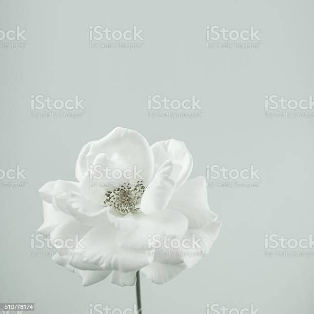 White rose in vintage color style for romantic background picture id510778174?b=1&k=6&m=510778174&s=612x612&h=vmv6l2dtemysnr6crx3doqvf11lxpv6opnq2aapjoea=
