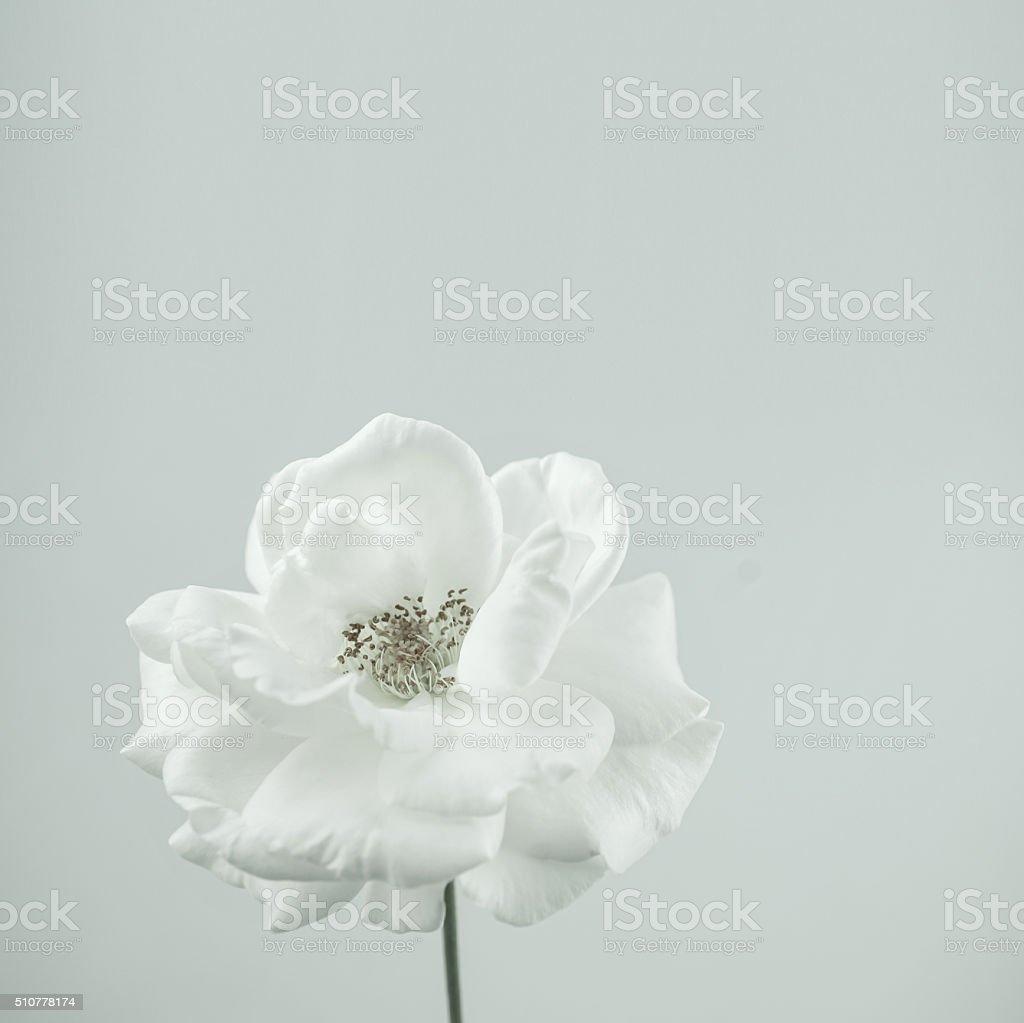 Blanc rose en couleur de style vintage pour fond romantique - Photo