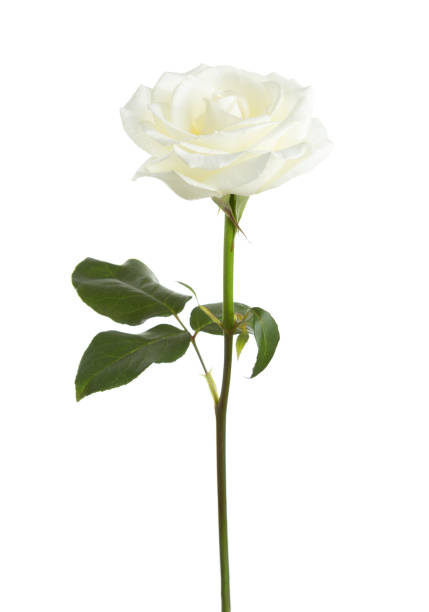White rose isolated on white background picture id827058608?b=1&k=6&m=827058608&s=612x612&w=0&h=8lav5q40bl5corbet4psljontaedfw5yypg8rx2zk94=