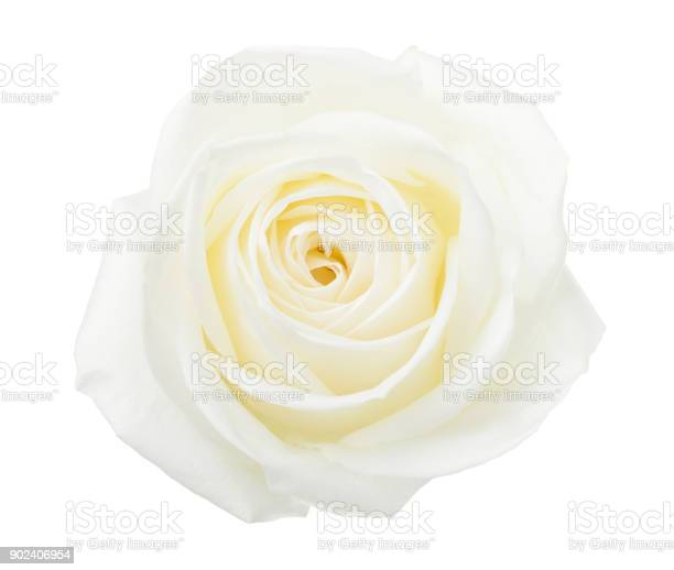 White rose isolated on white background picture id902406954?b=1&k=6&m=902406954&s=612x612&h=zbylyzxywselk6lrqyvh0cjbsrfgos noyffl04 ls0=