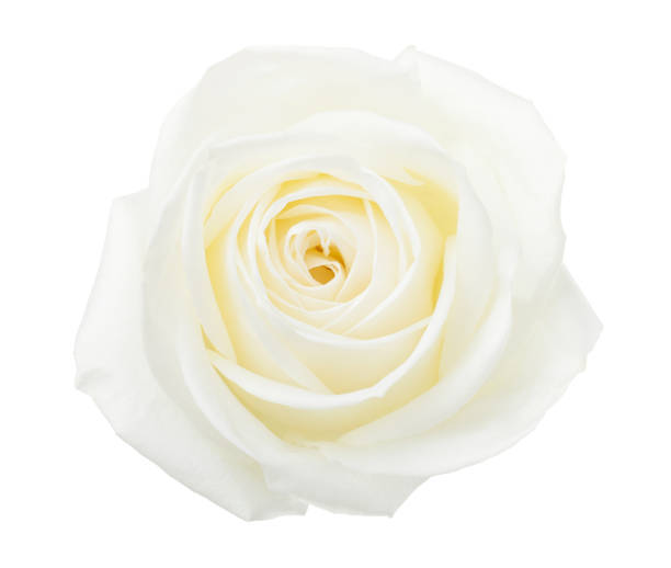White rose isolated on white background picture id902406954?b=1&k=6&m=902406954&s=612x612&w=0&h=ixb7uibncmvlpwptke9cmtxy8r0r4khbz b9k8axrts=