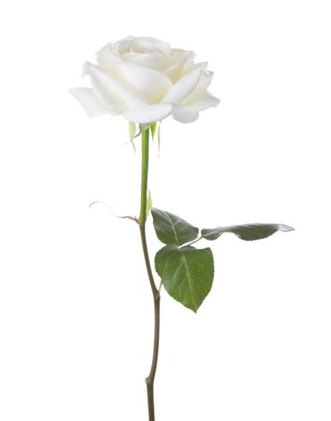 White rose isolated on white background picture id902681366?b=1&k=6&m=902681366&s=612x612&w=0&h=3 79pgm0t8cs2nk g2slb5trir8nf55hy bncwouuqw=