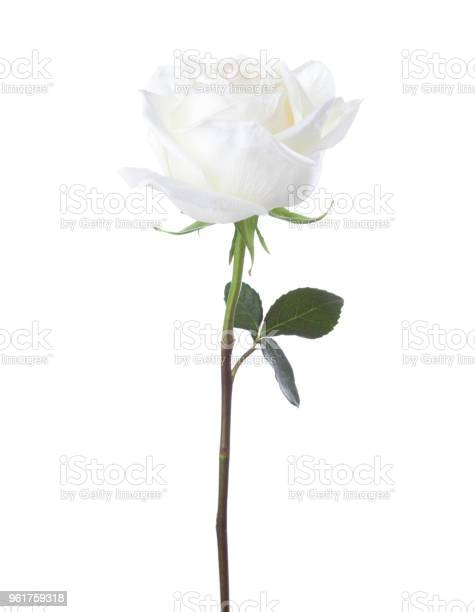 White rose isolated on white background picture id961759318?b=1&k=6&m=961759318&s=612x612&h=bxtsmi1sygnk6ujw3p sh7j5t7fnzcjrbbc0kp704ky=