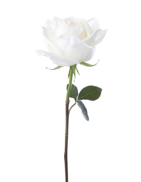 White rose isolated on white background picture id961759318?b=1&k=6&m=961759318&s=612x612&w=0&h=heog3lnjr7xwryeg8vkvqf8uqooa8qvaglmdaant9aa=