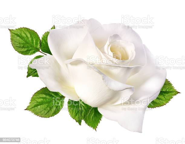 White rose isolated on white picture id934073746?b=1&k=6&m=934073746&s=612x612&h=xf03f7wykeyoy26exgdcgsqxx gq5 nvph7frjxbh54=