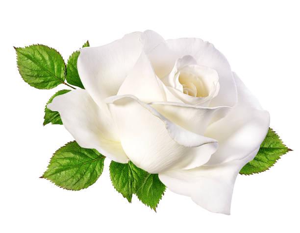 white rose isolated on white stock photo