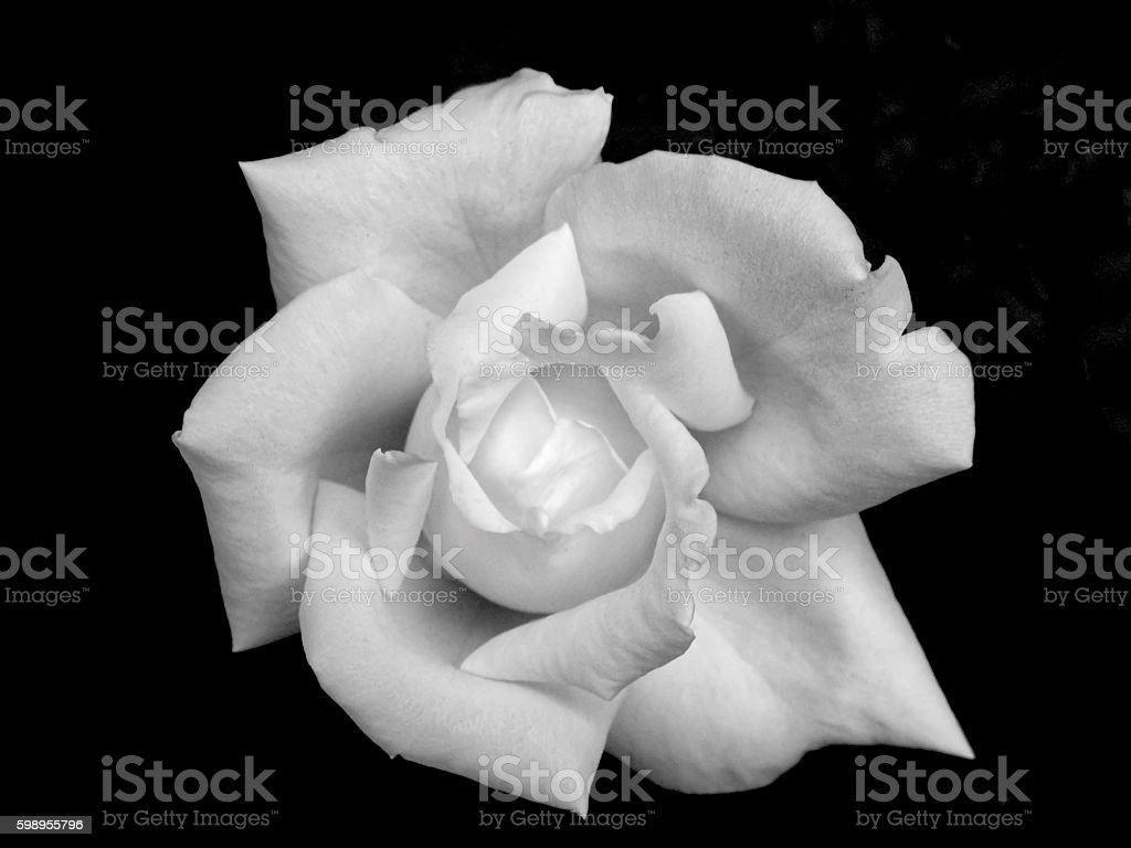 White Rose Isolation stock photo