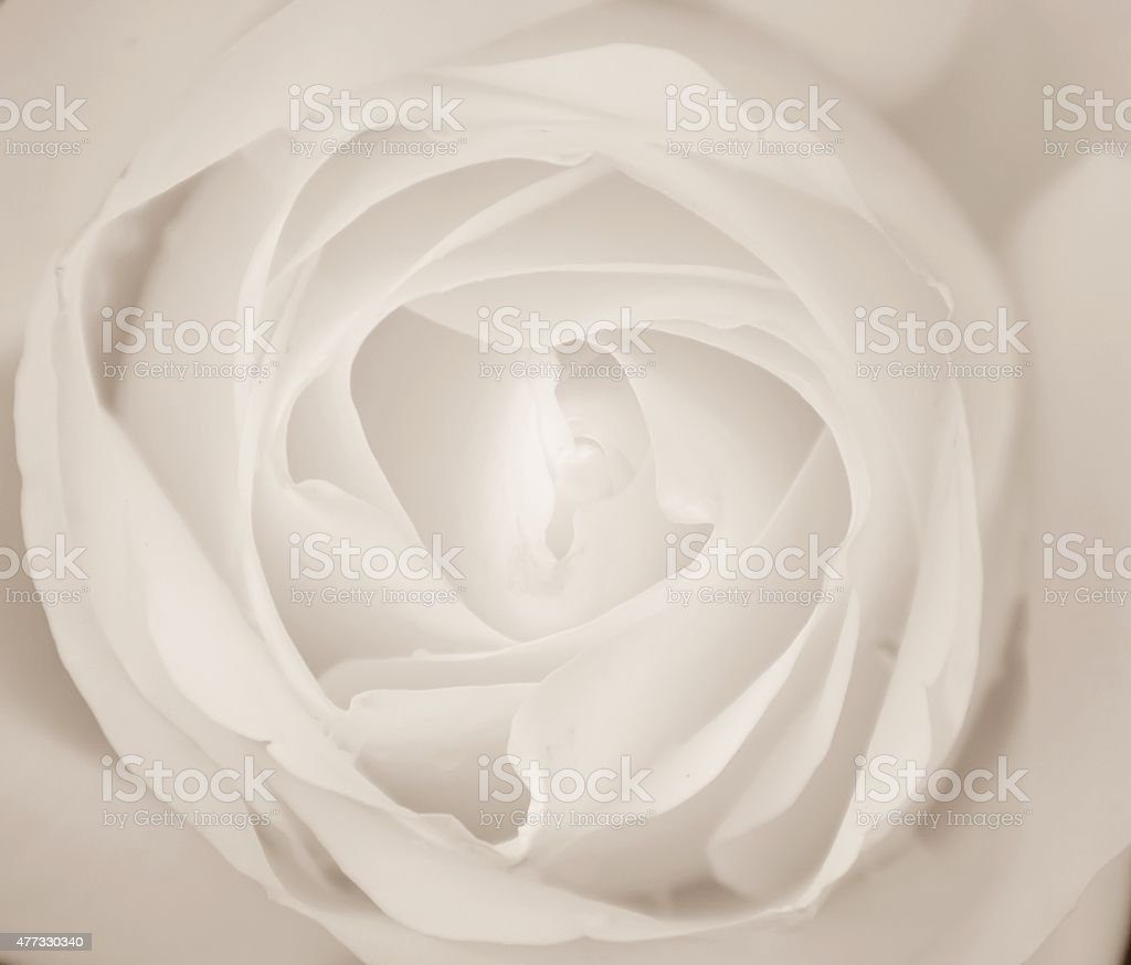 White Rose, Macro. stock photo